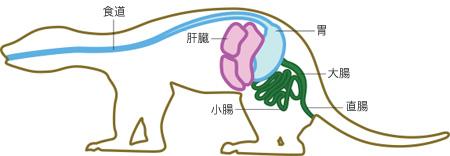 フェレット 解剖図